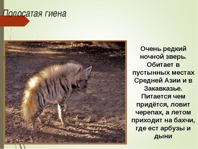 Полосатая гиена Очень редкий ночной зверь. Обитает в пустынных местах Средней...