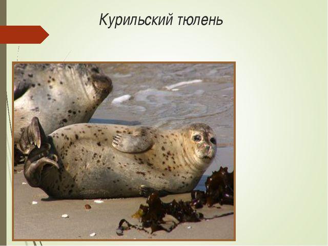 Курильский тюлень