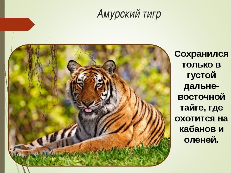 Амурский тигр Сохранился только в густой дальне-восточной тайге, где охотится...