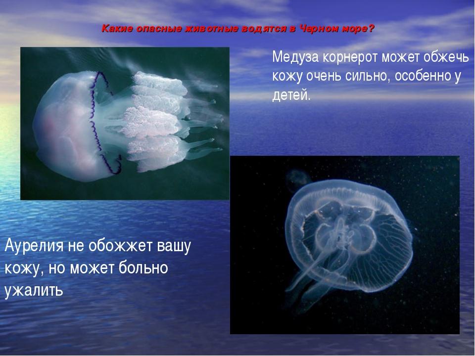 Какие опасные животные водятся в Черном море? Медуза корнерот может обжечь ко...