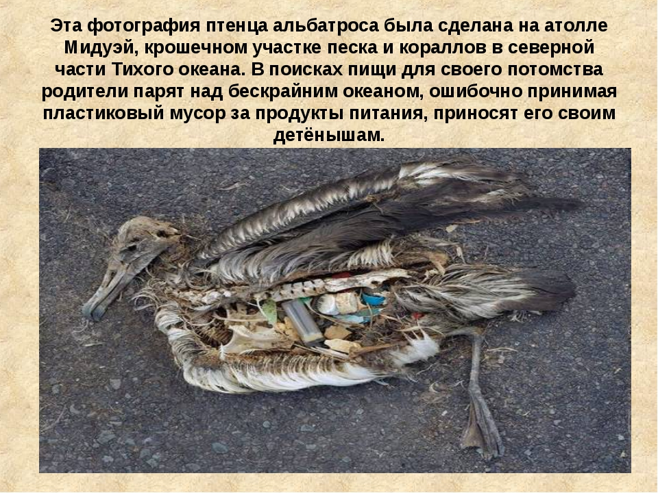 Эта фотография птенца альбатроса была сделана на атолле Мидуэй, крошечном уча...