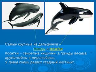 Самые крупные из дельфинов – гринды и косатки Косатки – свирепые хищники, а г