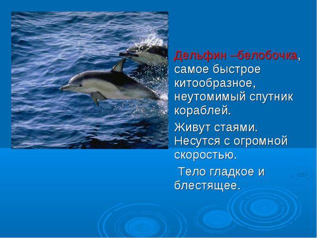 Дельфин –белобочка, самое быстрое китообразное, неутомимый спутник кораблей....