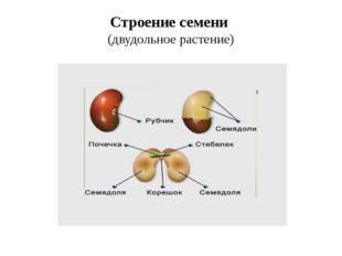 Строение семени (двудольное растение)