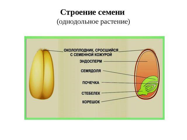 Строение семени (однодольное растение)