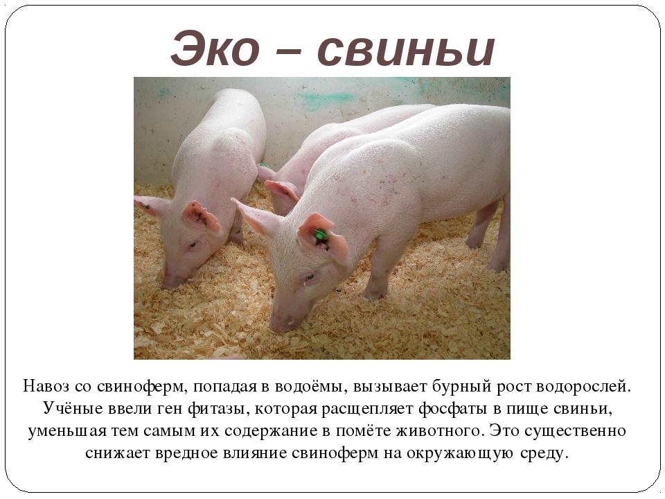 Эко – свиньи Навоз со свиноферм, попадая в водоёмы, вызывает бурный рост водо...