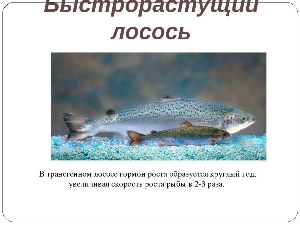 Быстрорастущий лосось В трансгенном лососе гормон роста образуется круглый го...