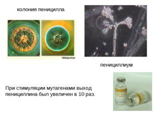 колония пеницилла пенициллиум При стимуляции мутагенами выход пенициллина был