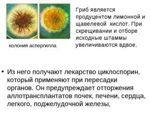 Из него получают лекарство циклоспорин, который применяют при пересадки орган