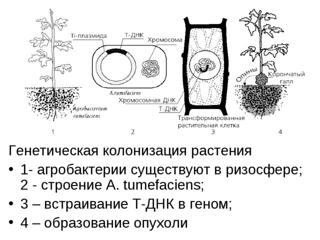 Генетическая колонизация растения 1- агробактерии существуют в ризосфере; 2 -...