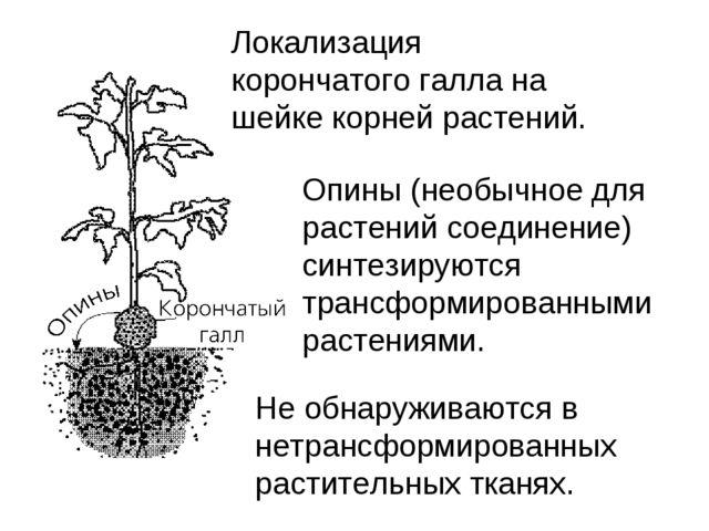 Локализация корончатого галла на шейке корней растений. Опины (необычное для...