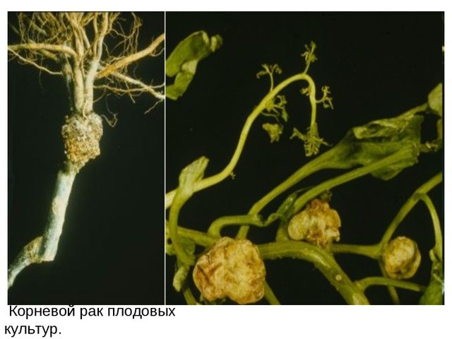 Корневой рак плодовых культур.