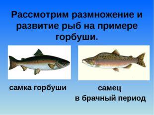 Рассмотрим размножение и развитие рыб на примере горбуши. самка горбуши самец