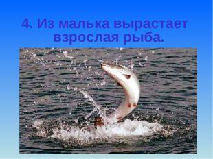4. Из малька вырастает взрослая рыба.
