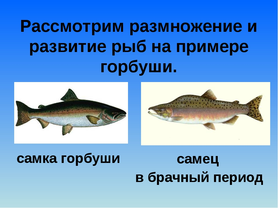 Рассмотрим размножение и развитие рыб на примере горбуши. самка горбуши самец...