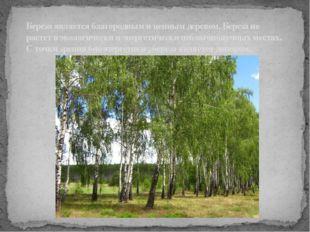 Береза является благородным и ценным деревом. Береза не растет в экологическ