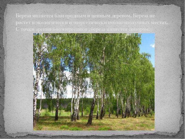 Береза является благородным и ценным деревом. Береза не растет в экологическ...