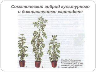 Соматический гибрид культурного и дикорастущего картофеля