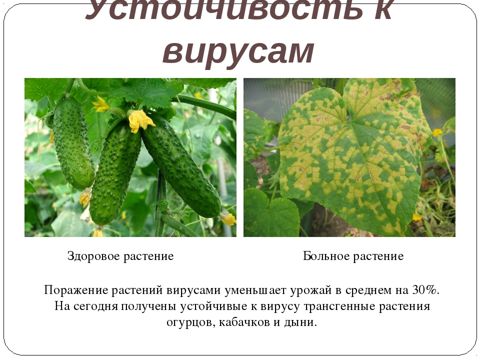 Устойчивость к вирусам Здоровое растение Больное растение Поражение растений...
