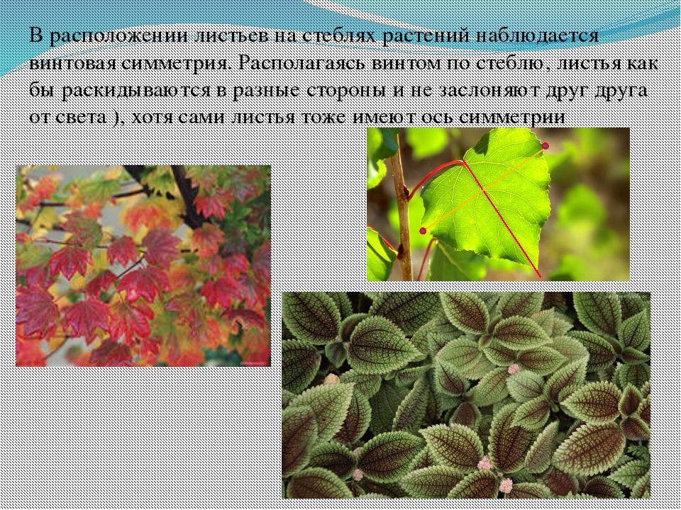 В расположении листьев на стеблях растений наблюдается винтовая симметрия. Ра...