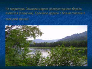 На территории Хакасии широко распространена береза повислая (плакучая). Крас