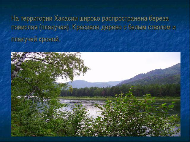 На территории Хакасии широко распространена береза повислая (плакучая). Крас...