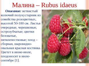 Малина – Rubus idaeus Описание: ветвистый колючий полукустарник из семейства