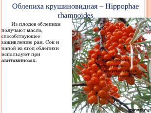 Облепихакрушиновидная – Hippophae rhamnoides Из плодов облепихи получают мас
