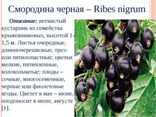Смородина черная – Ribes nigrum Описание: ветвистый кустарник из семейства к