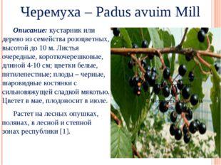 Черемуха – Padus avuim Mill Описание: кустарник или дерево из семейства розо