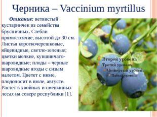 Черника – Vaccinium myrtillus Описание: ветвистый кустарничек из семейства б