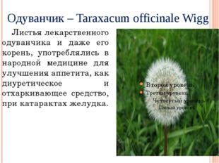 Одуванчик – Taraxacum officinale Wigg Листья лекарственного одуванчика и даже