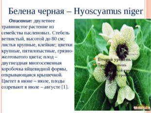 Белена черная – Hyoscyamus niger Описание: двулетнее травянистое растение из