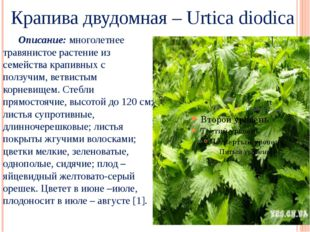 Крапива двудомная – Urtica diodica Описание: многолетнее травянистое растени