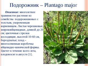 Подорожник – Plantago major Описание: многолетнее травянистое растение из се