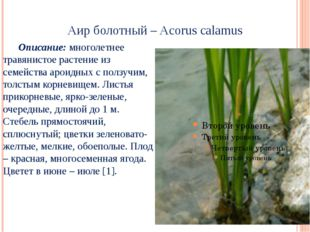 Аир болотный – Acorus calamus Описание: многолетнее травянистое растение из