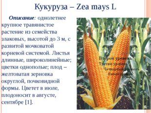 Кукуруза – Zea mays L Описание: однолетнее крупное травянистое растение из с