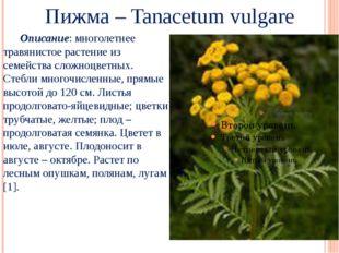 Пижма – Tanacetum vulgare Описание: многолетнее травянистое растение из семе