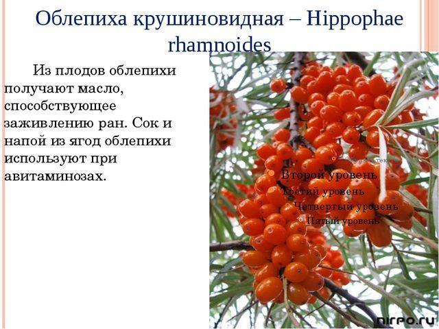 Облепихакрушиновидная – Hippophae rhamnoides Из плодов облепихи получают мас...