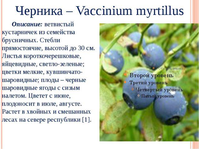 Черника – Vaccinium myrtillus Описание: ветвистый кустарничек из семейства б...