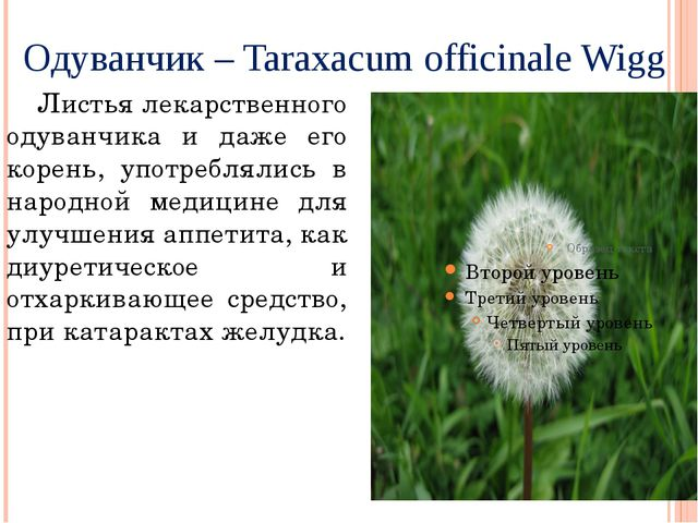 Одуванчик – Taraxacum officinale Wigg Листья лекарственного одуванчика и даже...