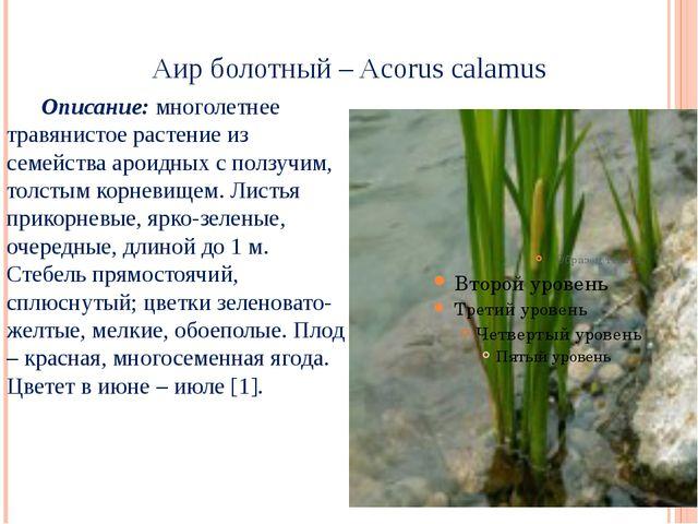 Аир болотный – Acorus calamus Описание: многолетнее травянистое растение из...
