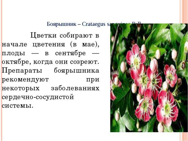 Боярышник – Crataegus sanguinea Pall Цветки собирают в начале цветения (в мае...