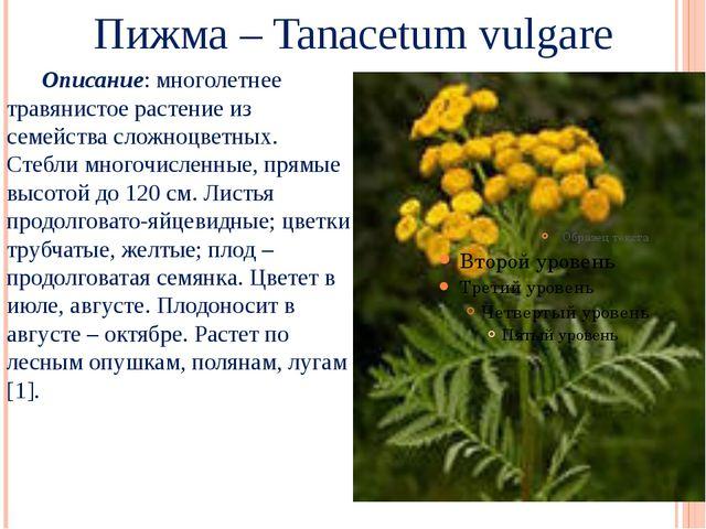 Пижма – Tanacetum vulgare Описание: многолетнее травянистое растение из семе...