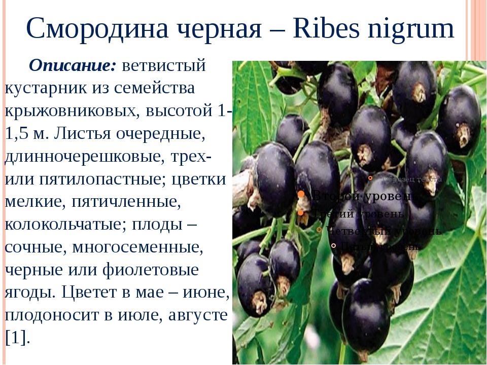 Смородина черная – Ribes nigrum Описание: ветвистый кустарник из семейства к...
