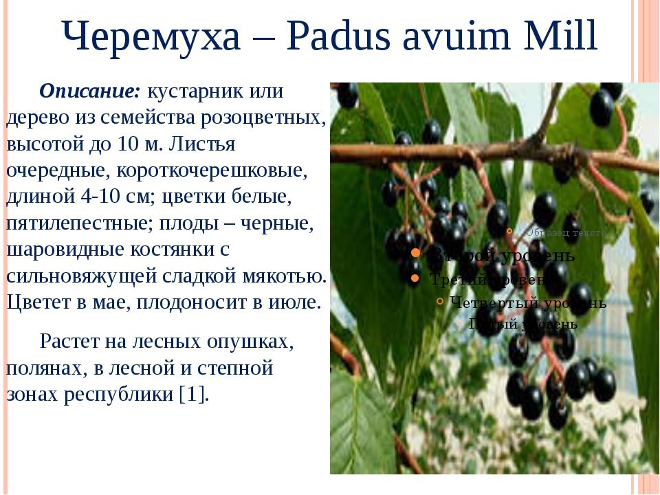 Черемуха – Padus avuim Mill Описание: кустарник или дерево из семейства розо...