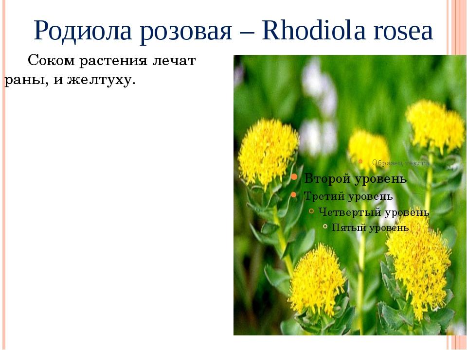 Родиола розовая – Rhodiola rosea Соком растения лечат раны, и желтуху.