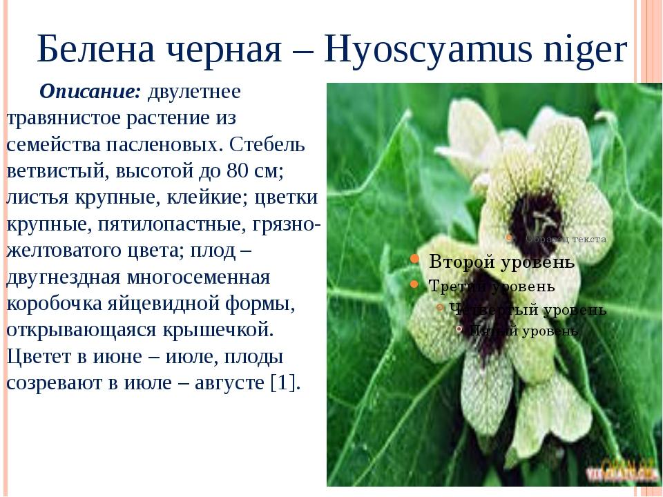 Белена черная – Hyoscyamus niger Описание: двулетнее травянистое растение из...