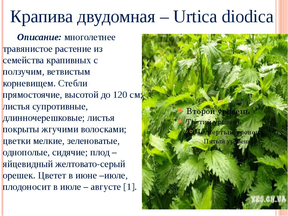 Крапива двудомная – Urtica diodica Описание: многолетнее травянистое растени...