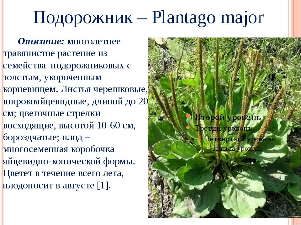 Подорожник – Plantago major Описание: многолетнее травянистое растение из се...